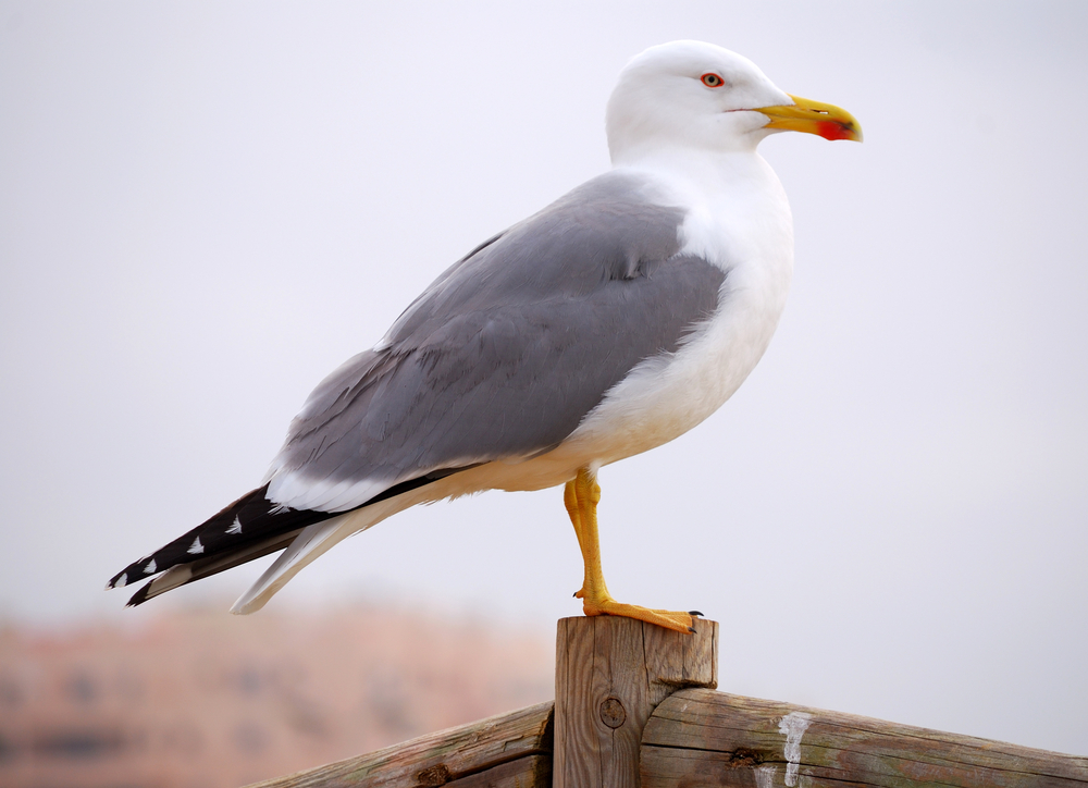 Council cracks down on gulls problem   The Plymouth Daily