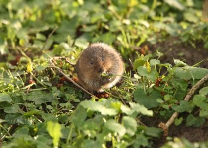 Survey local riverbanks this spring to help save endangered water voles