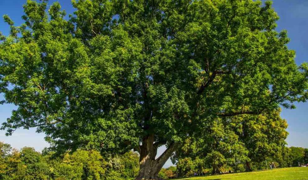 Devon County Council, Ash dieback, trees, Devon