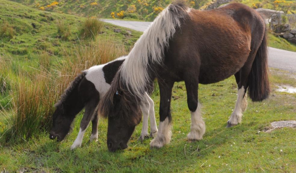 Dartmoor ponies