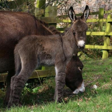 New foal born at The Donkey Sanctuary