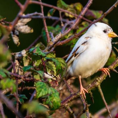 White Sparrow